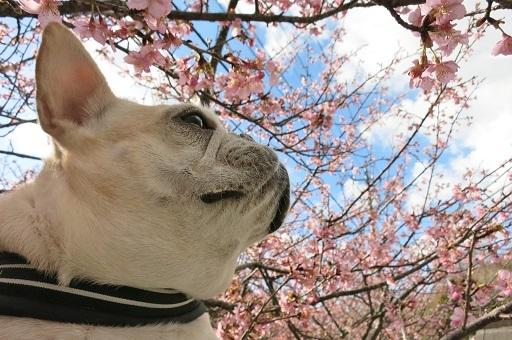 3-2うた桜①