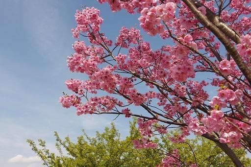 4-1寒緋桜満開