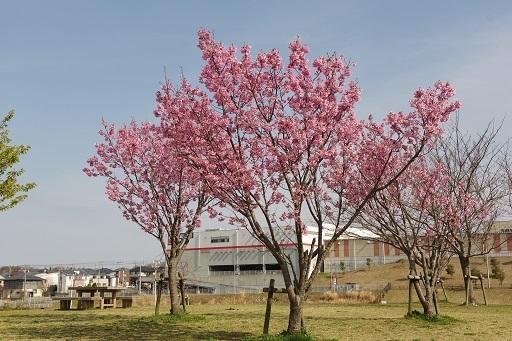 4-1寒緋桜3本