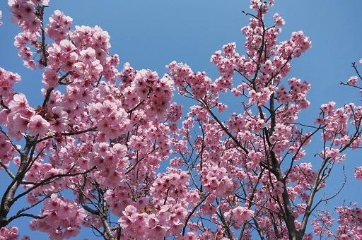 3-28桜アップ