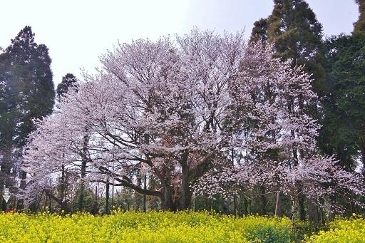 4-10大俵桜大きさ比較