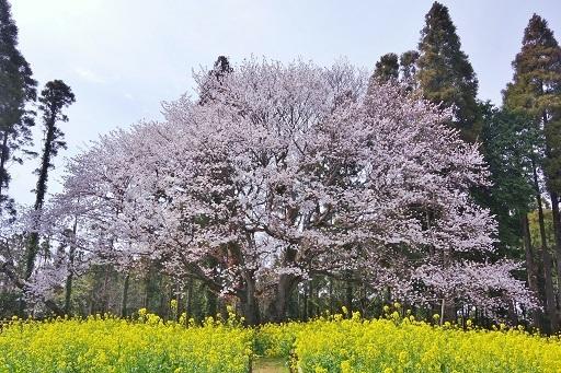 4-10桜全体⑤