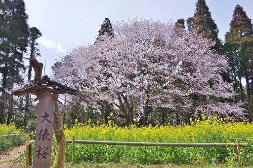 4-10桜看板