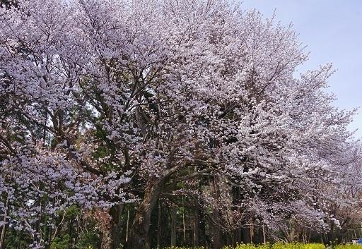 4-10桜横幅