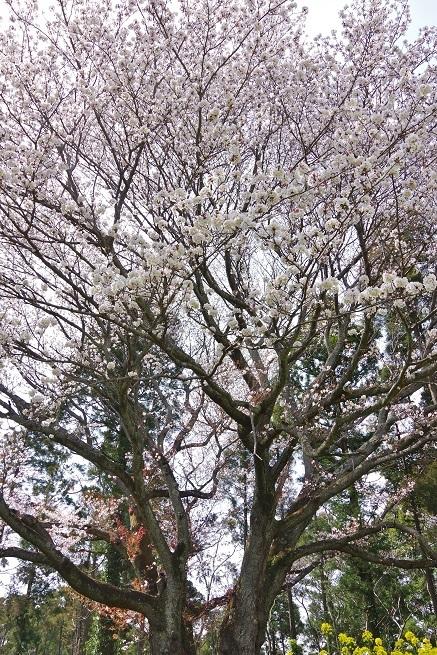 4-10桜