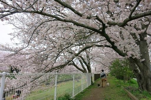 4-10桜のトンネルパパ