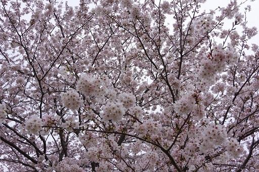 4-10桜いっぱい