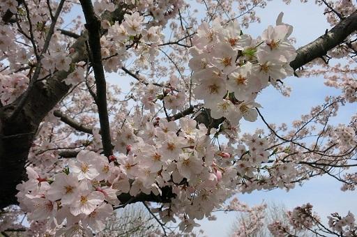 4-10桜アップ