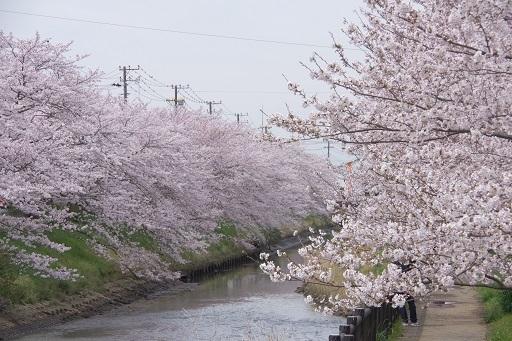 4-10パパカメ桜川