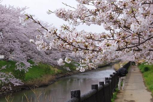 4-10パパカメ桜の枝