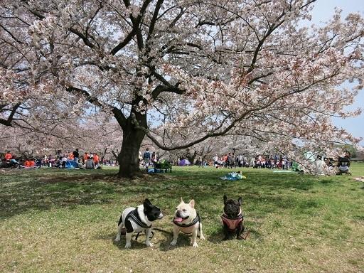 4-15桜の下で