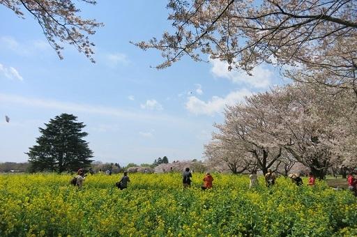 4-15菜の花と桜とカメラ