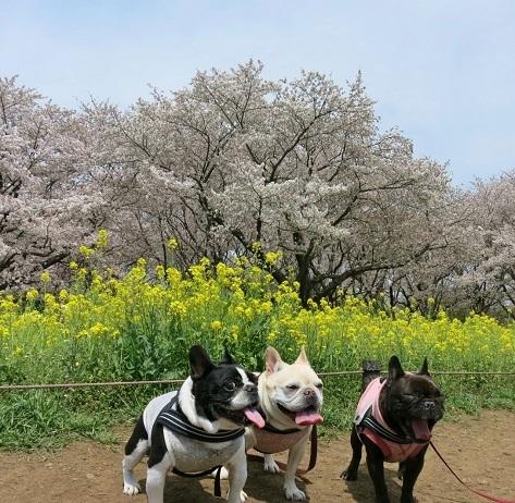4-15菜の花と桜