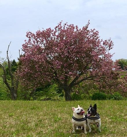 4-26ふるうた木