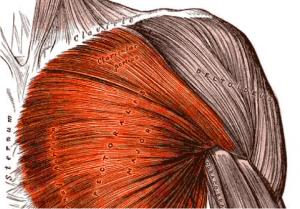 Pectoralis-major (1)