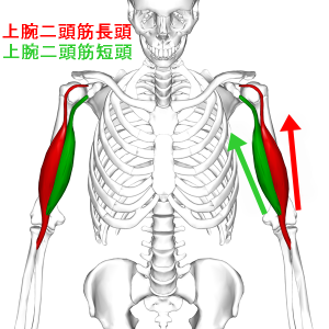 Biceps_brachii_muscle06_20170328194729ce2.png