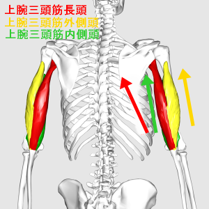 Triceps_brachii_muscle07_20170322063024688.png