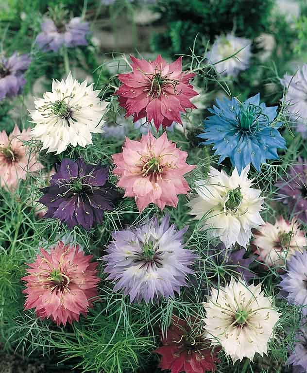 love-in-a-mist-persian-jewels-mix.jpeg
