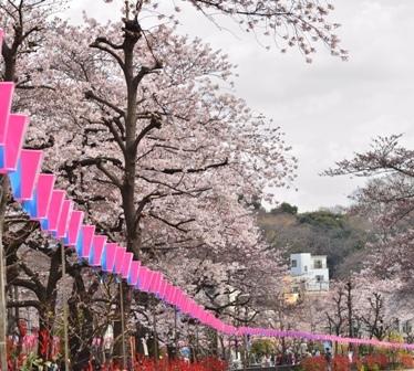 sirosakura2.jpg