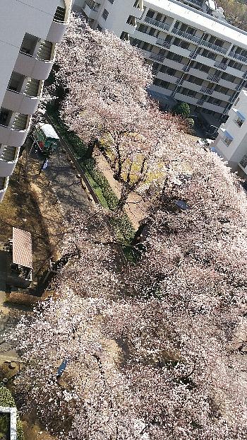 空からの櫻
