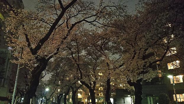 夜桜近所の