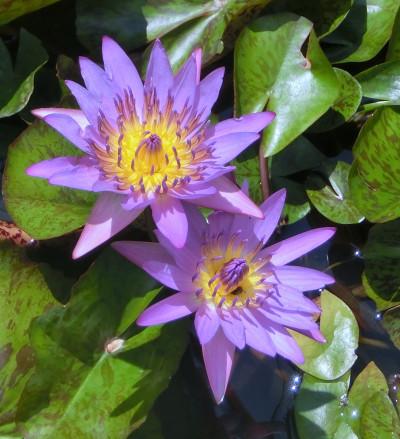 170221-去年買った睡蓮紫-5
