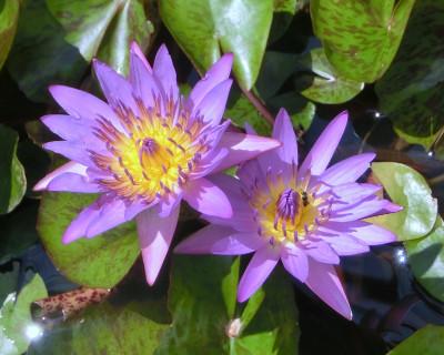 170221-去年買った睡蓮紫-4