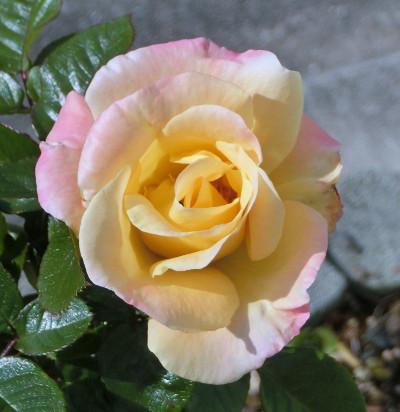 170301-薔薇-2
