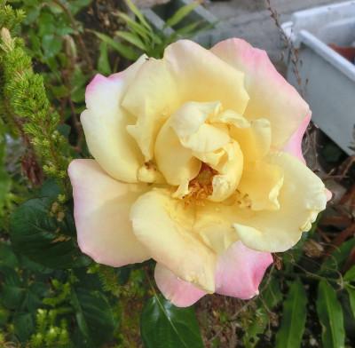 170301-薔薇-1