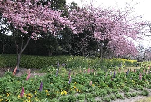 ネモフィラと桜