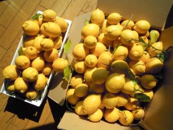 今年のレモン170216