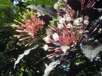 温室内の花クレロデンドロム、クアドリナム
