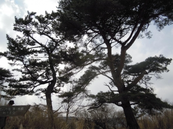 松の木17
