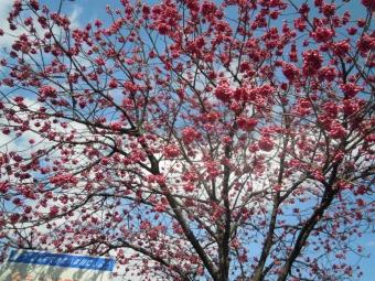 桜?170317