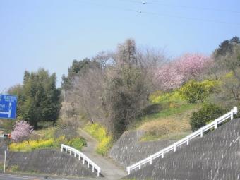 77最高地点傍で桜と菜の花170320