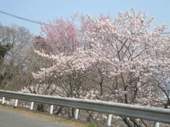 一ノ堰の桜の途中170320