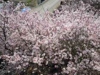一ノ堰の桜170320-2