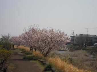 狩川左岸桜170320
