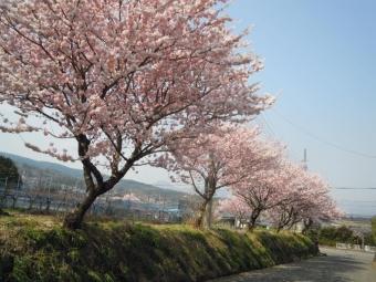 塚原から登って広域農道とぶつかる所の桜170320
