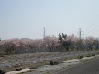 なんとかユートピアの桜170320