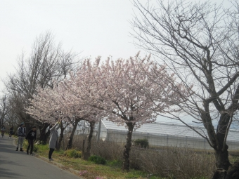 香菜ガーデン周りの桜170320