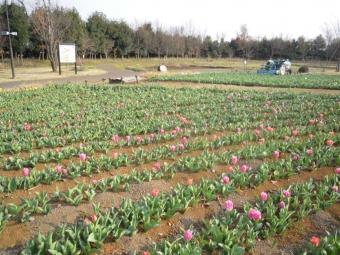 香菜ガーデンチューリップ170330