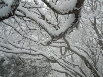 木に付いた雪-1-170401
