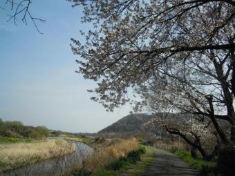 金目川沿いの桜170405