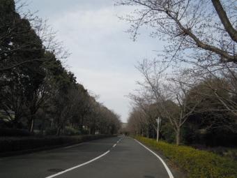 神奈川県農業試験場の桜170405