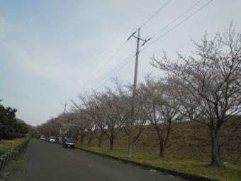 農業試験場の横の丘の桜170405