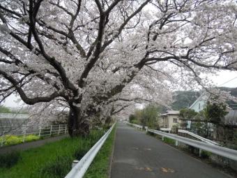 花水川脇の桜170410