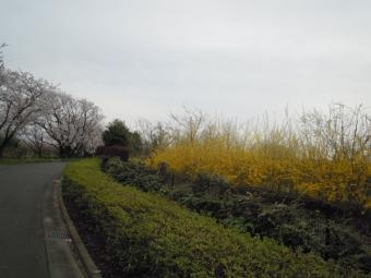 香菜ガーデン脇の桜170410