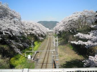 山北駅桜1-170413