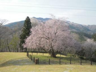 大きな桜の木つぶらの公園内170414